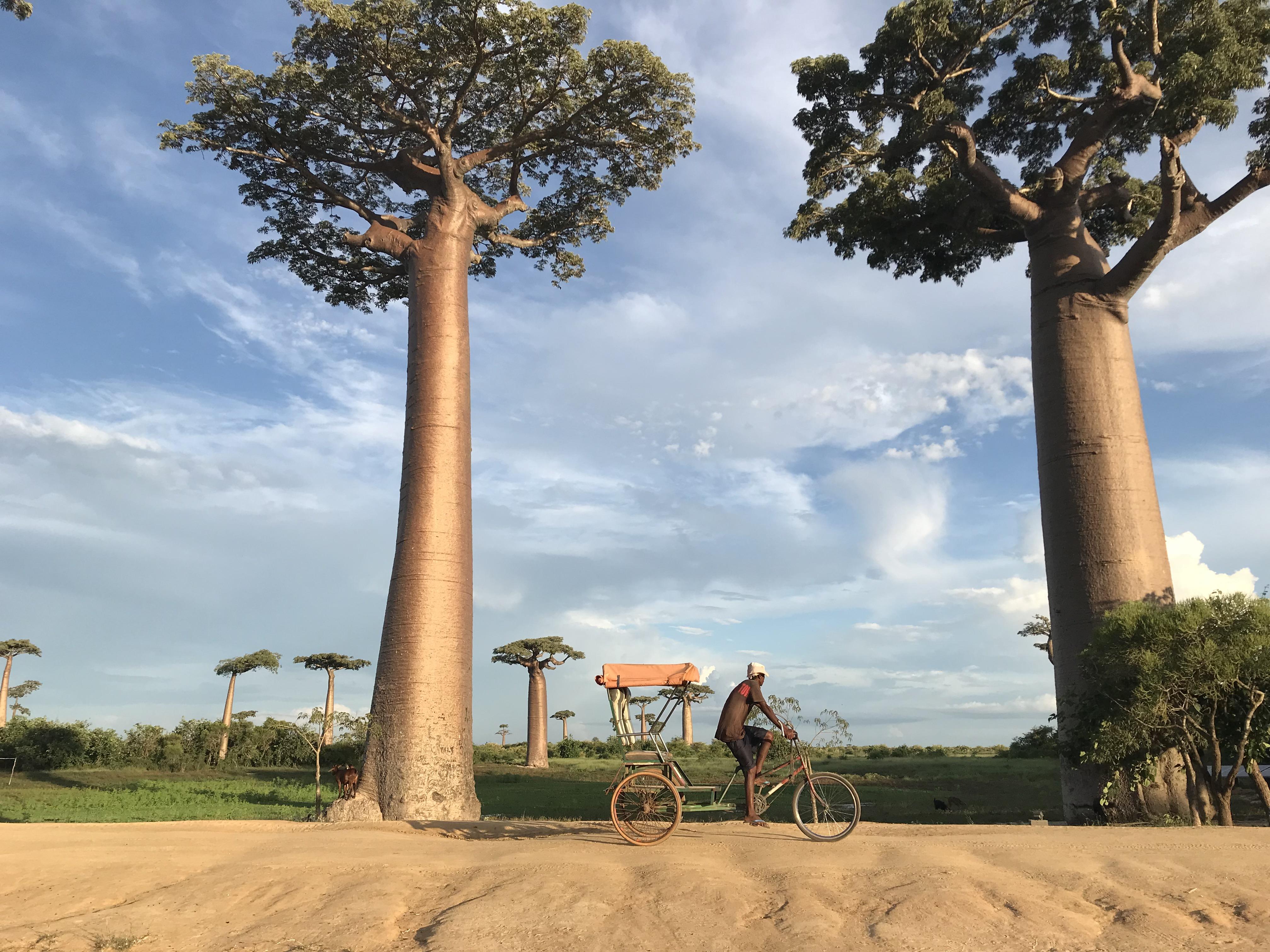 バオバブ並木道